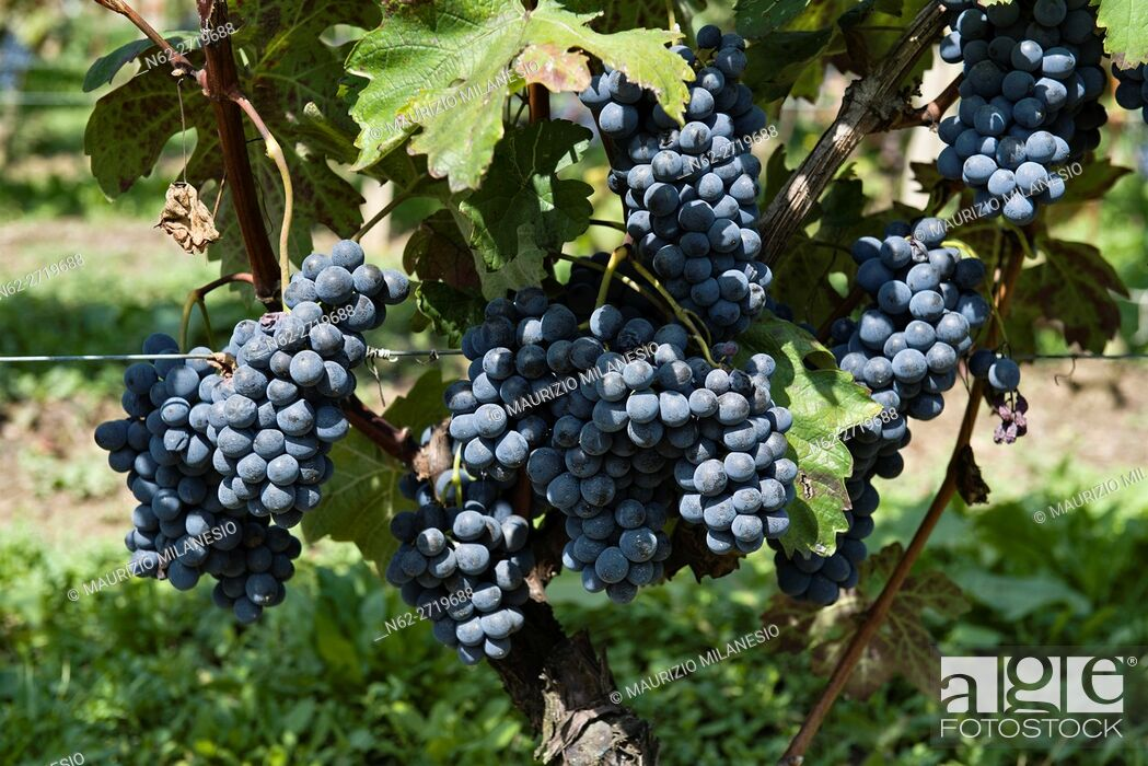 Stock Photo: Bunches of grapes ready for harvest in Piedmont Italy.
