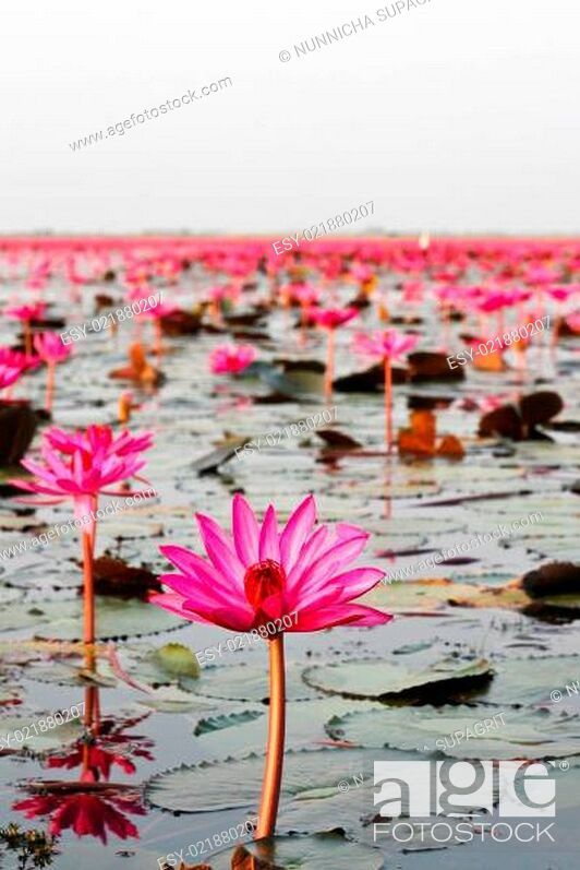 Stock Photo: The Lake of water lily, Udonthani, Thailand.