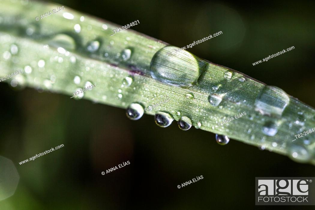 Stock Photo: Water drops on green leaf wheat Triticum, Alentejo, Portugal, Europe.