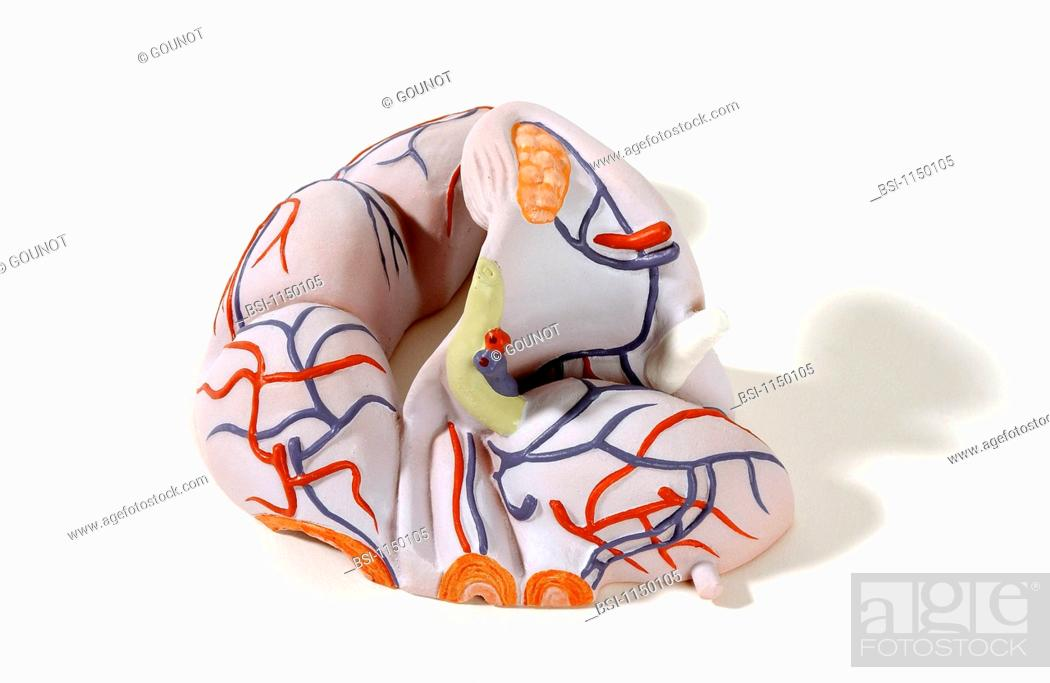 Model Of The Internal Anatomy Of An Adult Female Genitourinary Tract