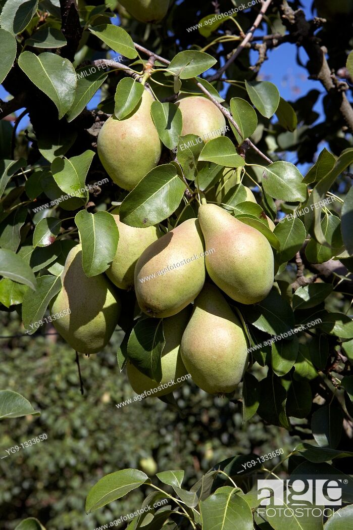 Stock Photo: Water Pears on a tree  LLeida  Spain.