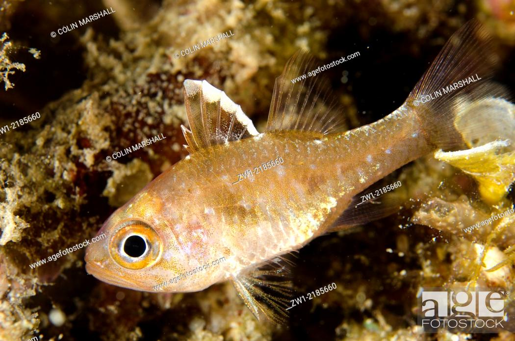 Stock Photo: Frostfin Cardinalfish (Ostorhinchus hoevenii), Wainilu dive site, Rinca Island, Komodo National Park, Indonesia.