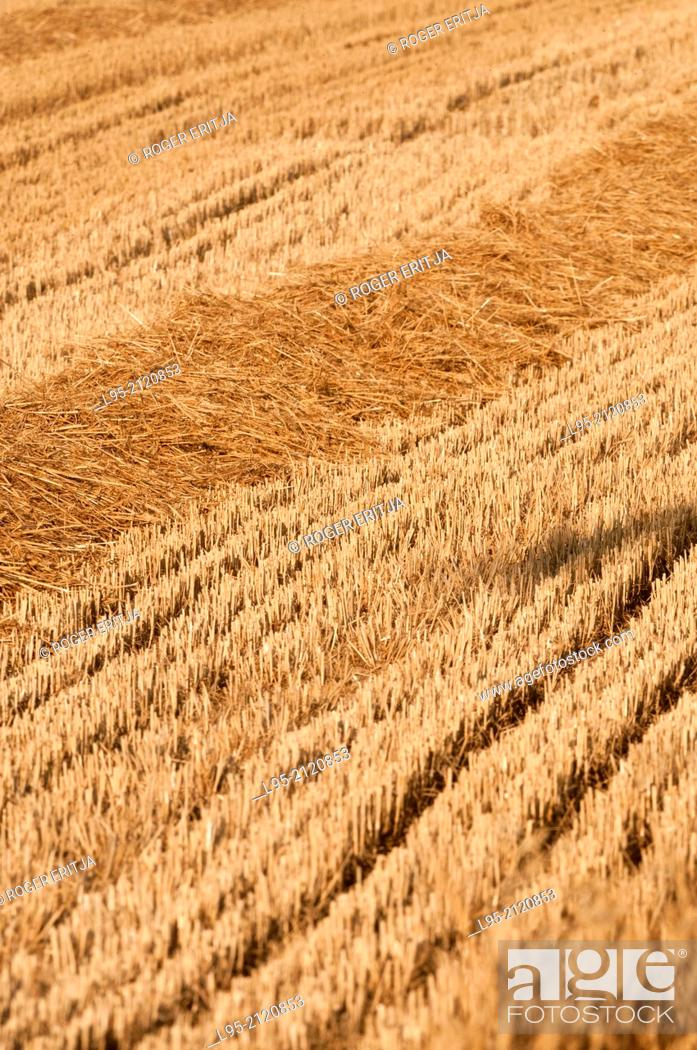 Stock Photo: Wheat (Triticum vulgare) field after harvesting in July, spain.