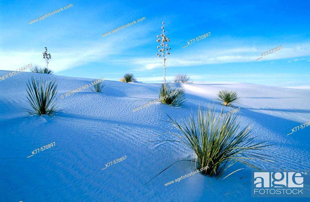 Stock Photo: Soaptree Yucca (Yucca elata). White Sands National Monument. New Mexico, USA.