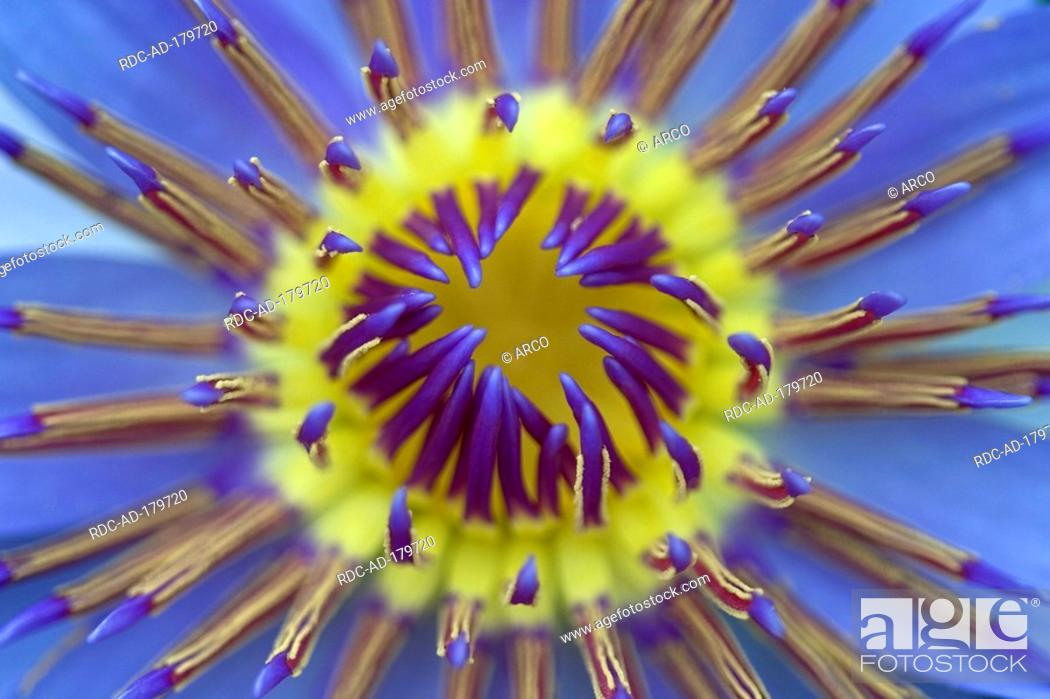 Stock Photo: Colorful Water Lily, Nymphaea colorata.
