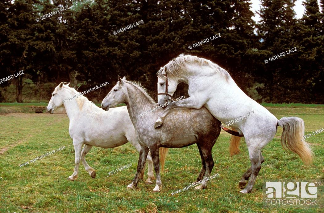 Stock Photo: LIPIZZAN HORSE, MARE AND STALLION MATING.