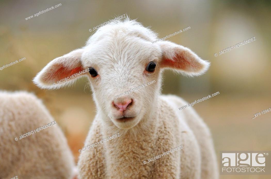 Stock Photo: Merino lamb, Badajoz province, Extremadura, Spain.