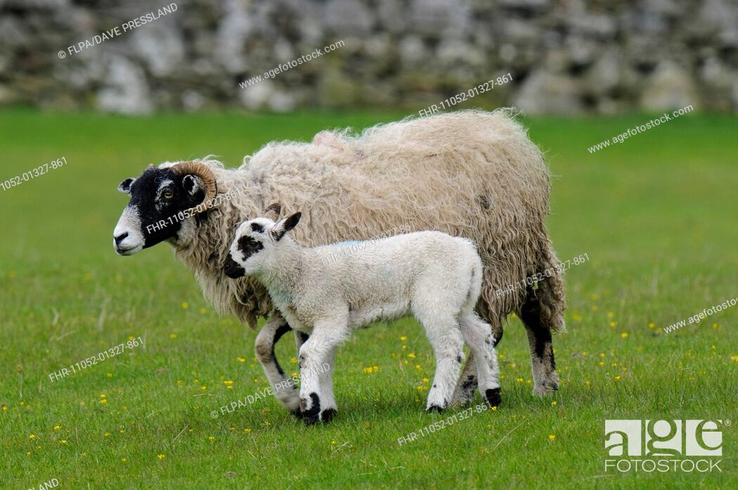 Stock Photo: Domestic Sheep, Swaledale ewe and lamb, walking in pasture, Hardraw, Wensleydale, Yorkshire Dales N.P., North Yorkshire, England, May.
