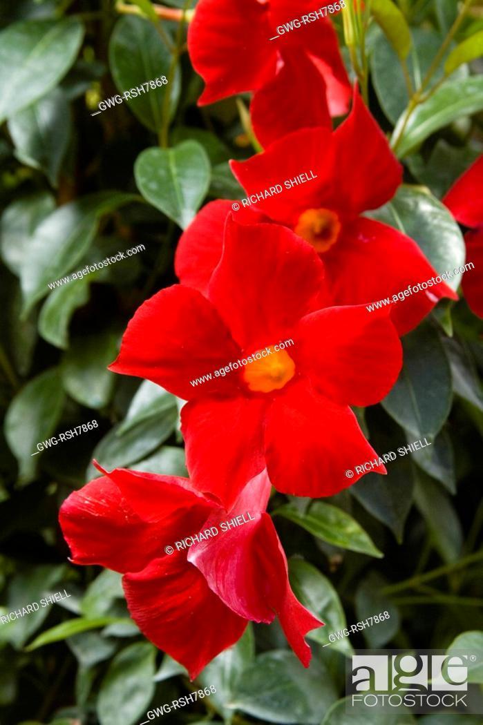 Mandevilla Sun Parasol Crimson Syn Dipladenia Sun Parasol