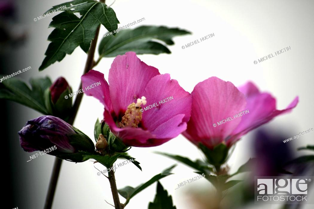 Stock Photo: Hibiscus is a perennial shrub with flowers, Pink also called Chinese or cayenne Family Malvaceae Origin = = south-east Asia and the Polynesian islands.