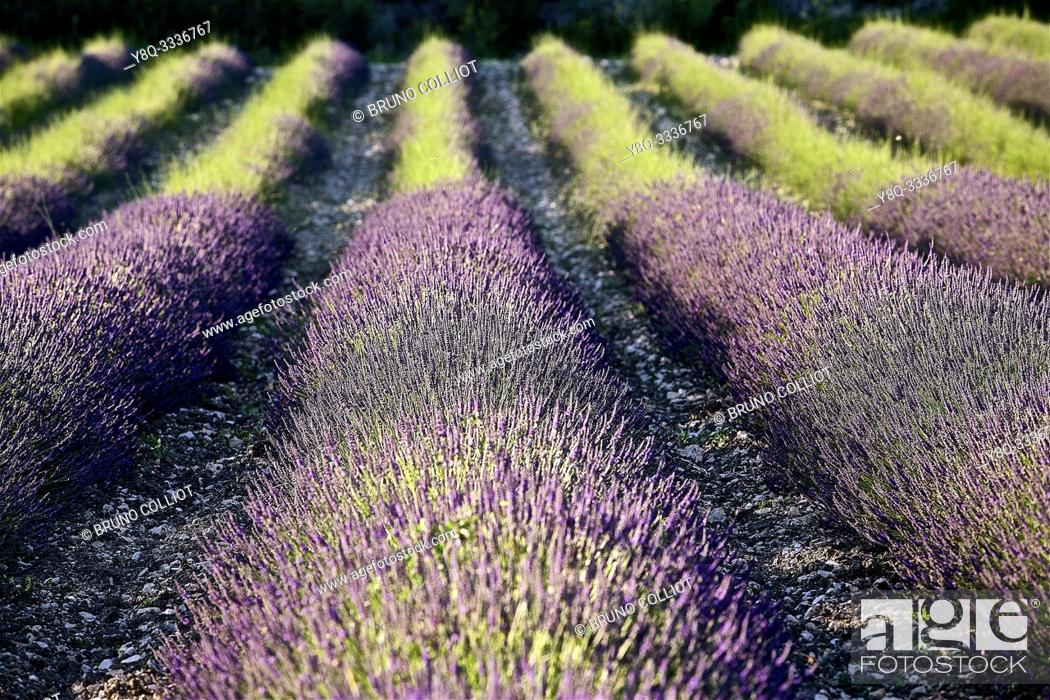 Stock Photo: lavender fields of Tricastin, between Grignan and Salle sous Bois. the drôme, france.
