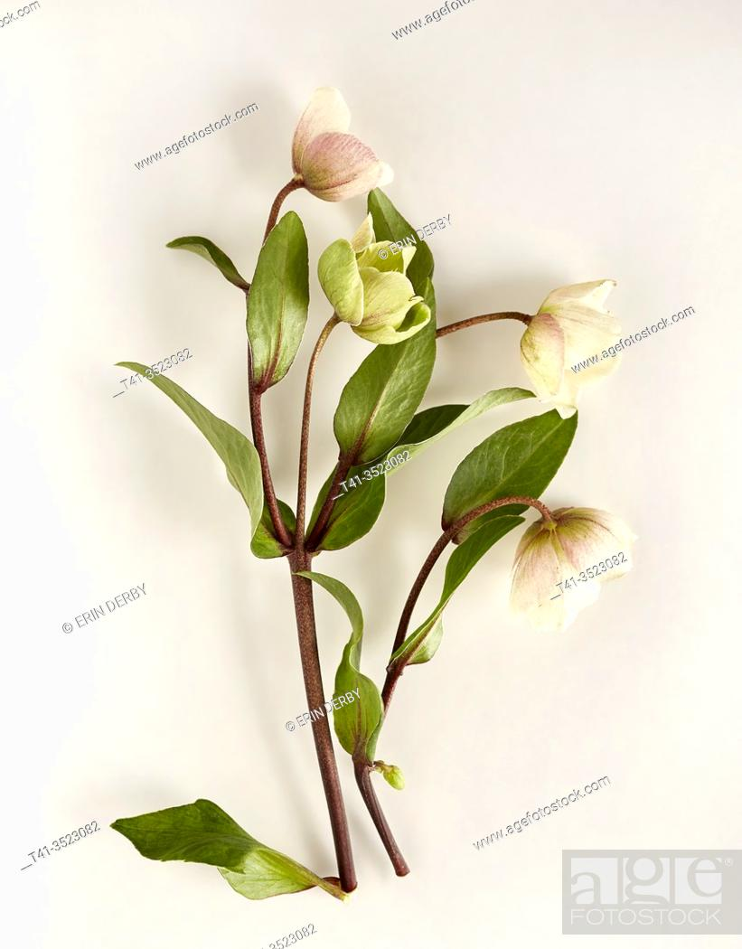 Stock Photo: delicate hellebore flowers arranged artfully on a white surface.