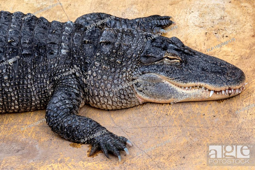 Stock Photo: American alligator / gator / common alligator (Alligator mississippiensis) endemic to the Southeastern United States.