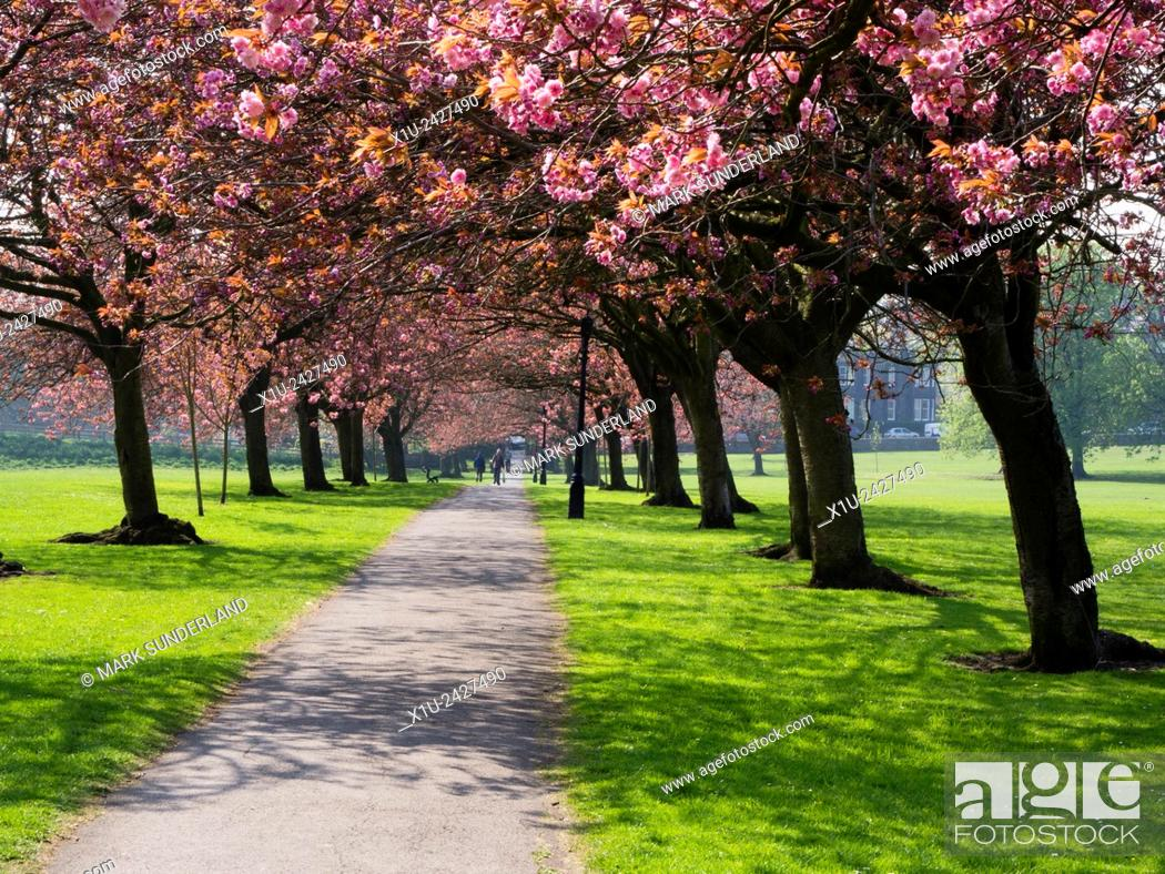Stock Photo: Cherry Blossom on The Stray in Spring Harrogate North Yorkshire England.
