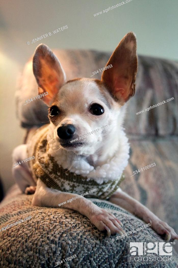 Stock Photo: A Chihuahua sitting on a couch indoors.