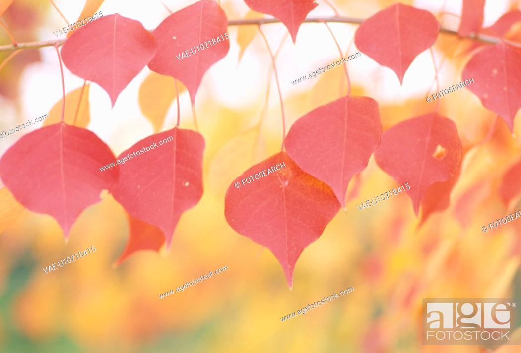 Stock Photo: Poplar Autumn Leaves.