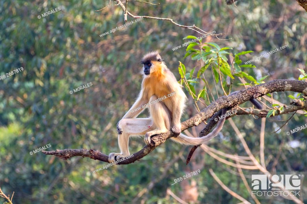 Stock Photo: South east Asia, India,Tripura state,Trishna wildlife sanctuary,Capped langur (Trachypithecus pileatus).