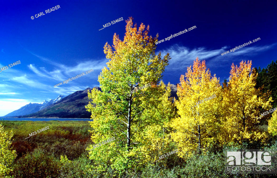 Imagen: Autumn cottonwood trees light up in the late afternoon light with the Grand Tetons in the background, Wyoming, USA.