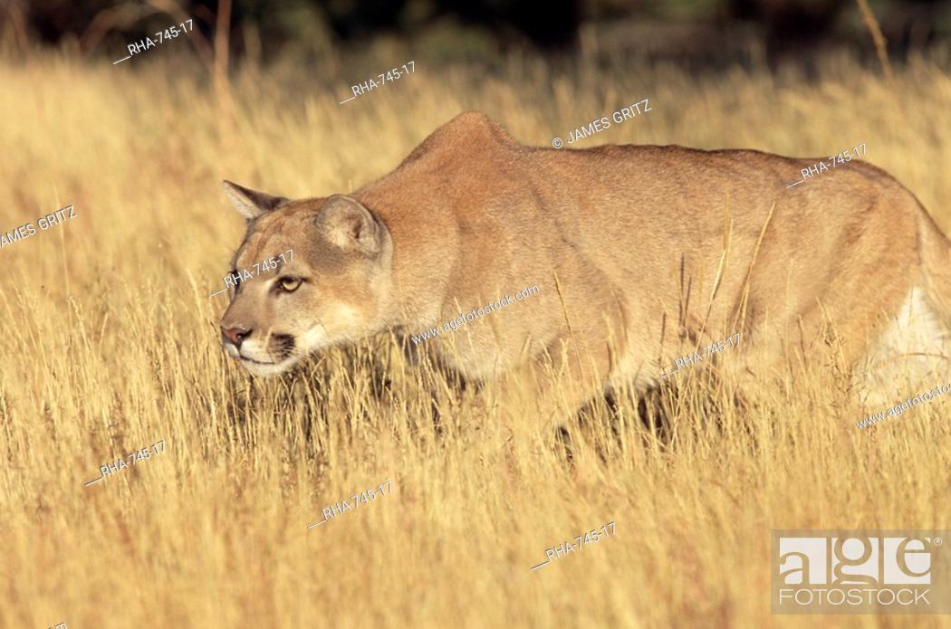 Stock Photo: Mountain lion stalking, Colorado, United States of America, North America.