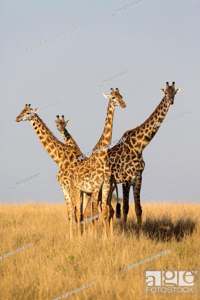 Stock Photo: Giraffes (Giraffa camelopardalis) in savannah, Masai Mara, Kenya.