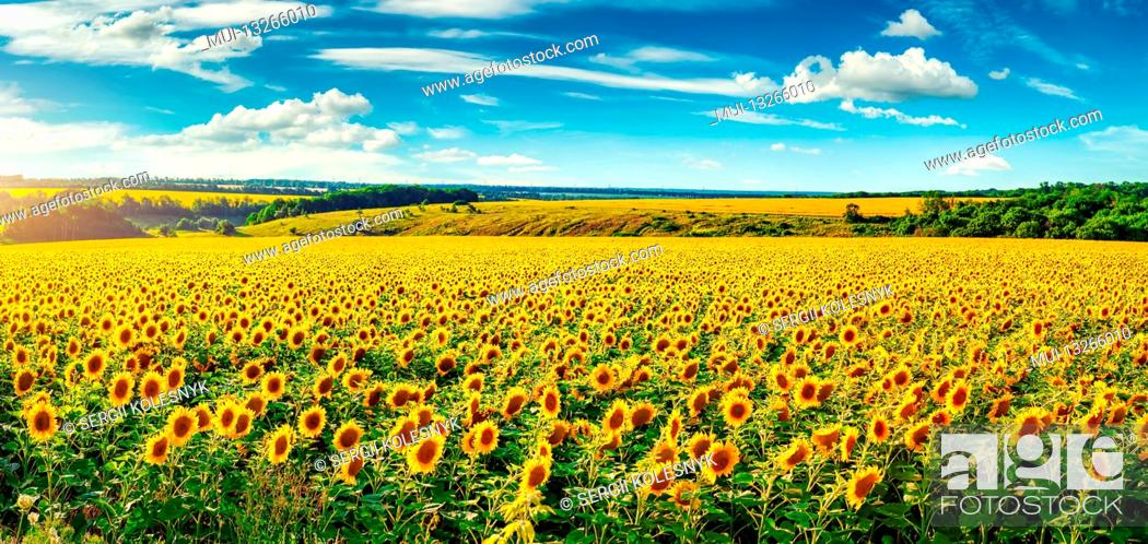 Stock Photo: Blooming sunflower field in sunny summer day.