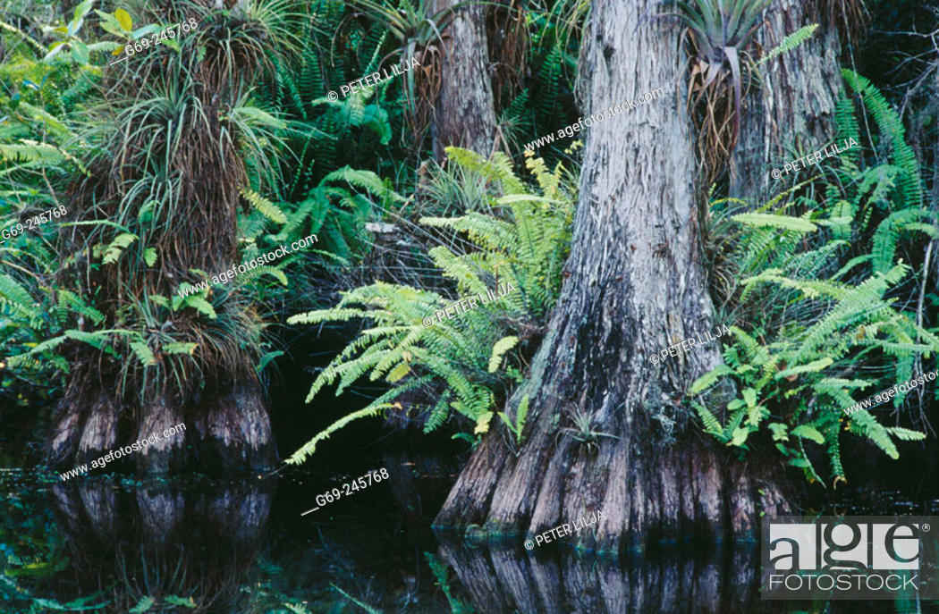 Stock Photo: The bald cypress (Taxodium distichum) forest with airplants. Big Cypress National Preserve. Florida. USA.