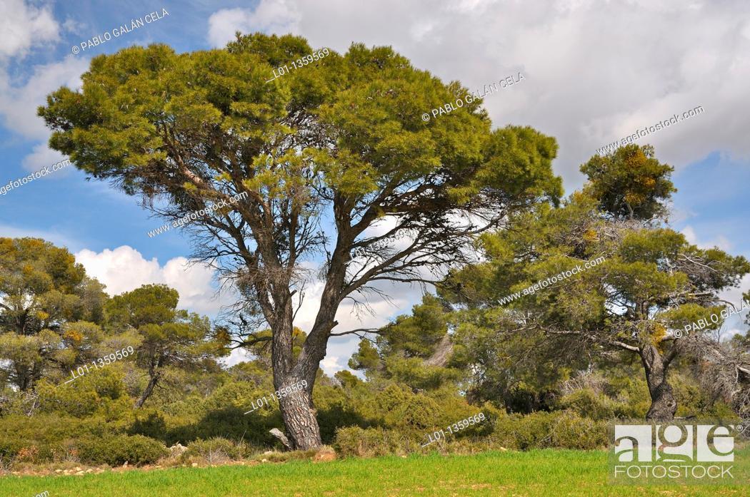 Stock Photo: Pino carrasco Pinus halepensis.
