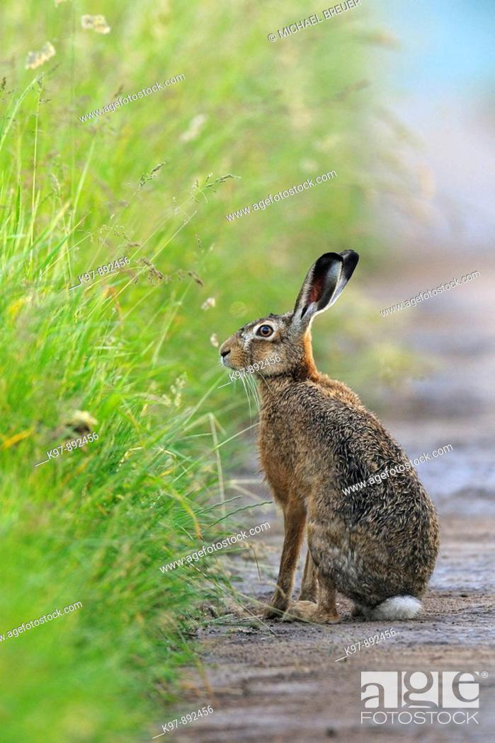 Stock Photo: European brown hare in summer, Germany.