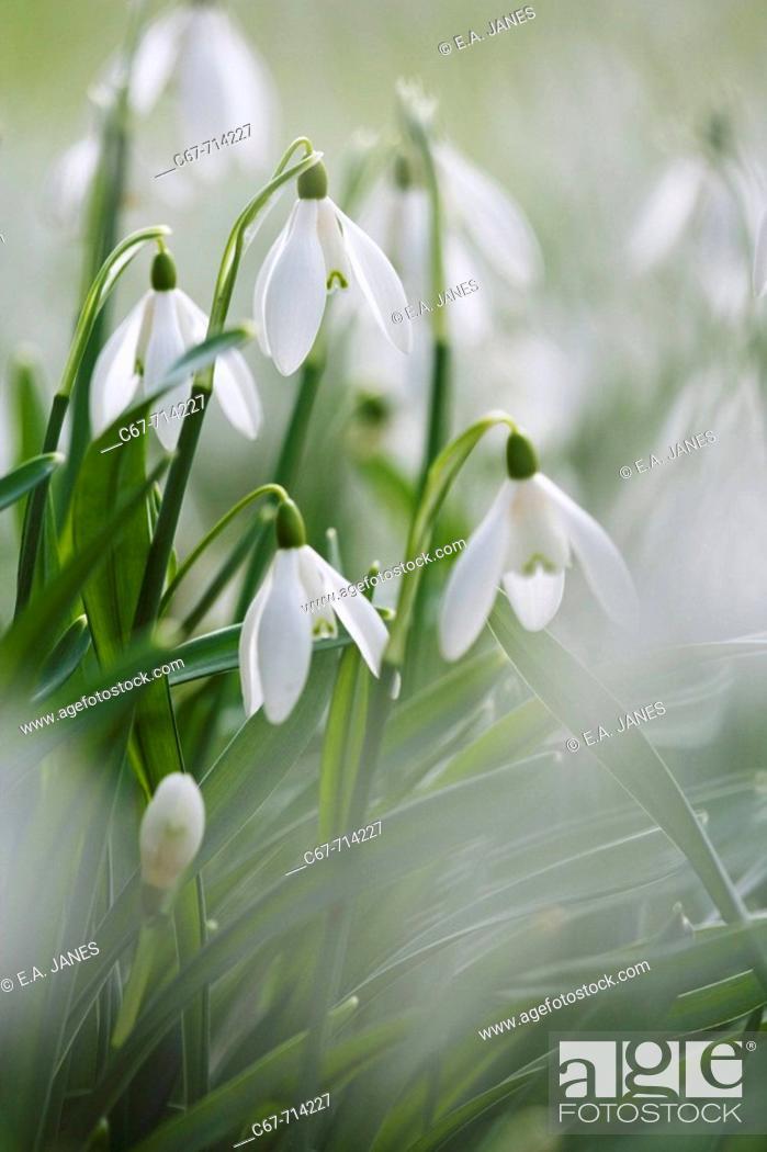 Stock Photo: Snowdrops Galanthus nivalis.