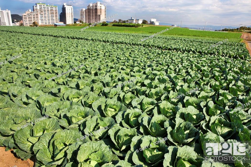 Imagen: Field of cabbage in Miura Hanto Peninsula, Japan.