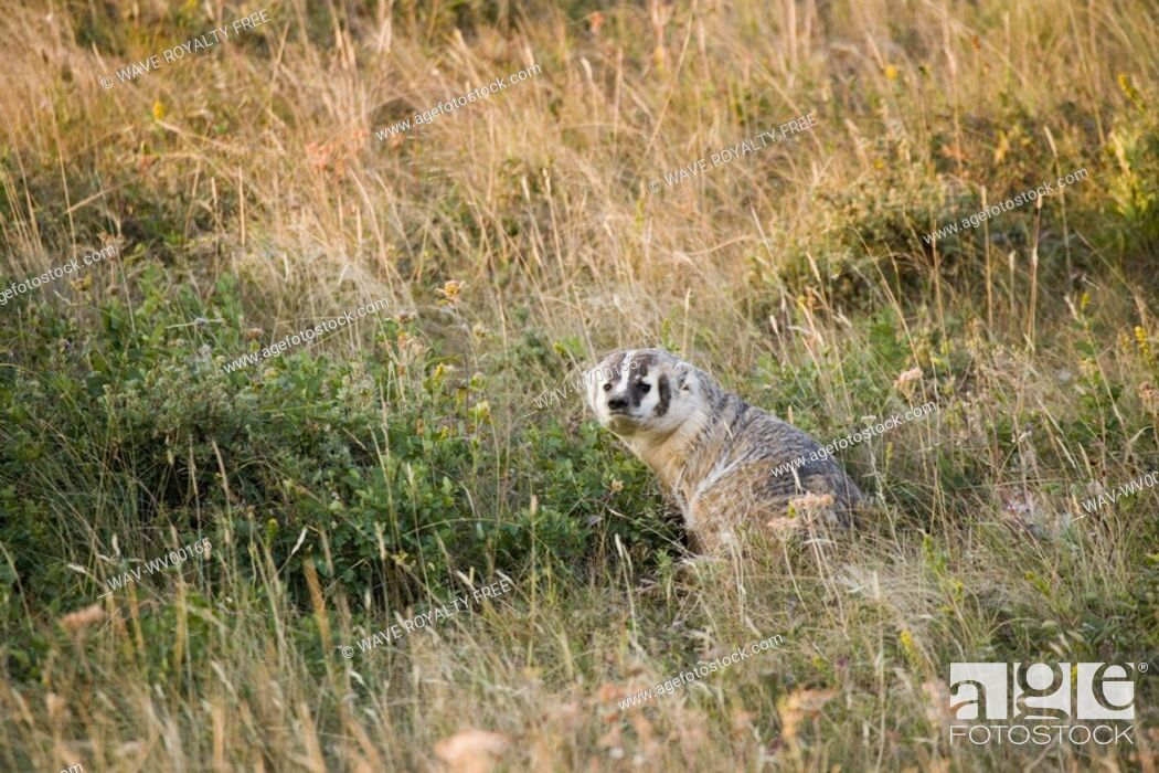 Stock Photo: American Badger Taxidea taxus in Rocky Mountain Foothills, Waterton Lakes National Park, Alberta, Canada.