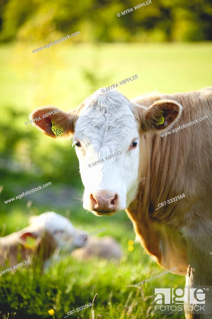 Stock Photo: Young cow with white face.