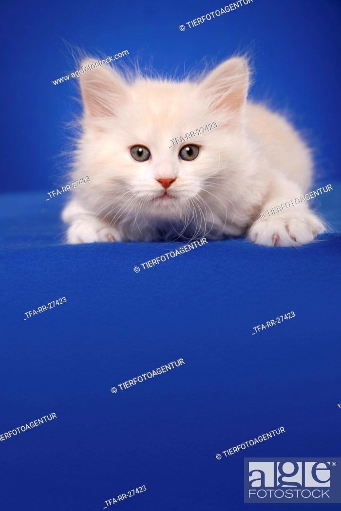 Stock Photo: lying Siberian Cat.