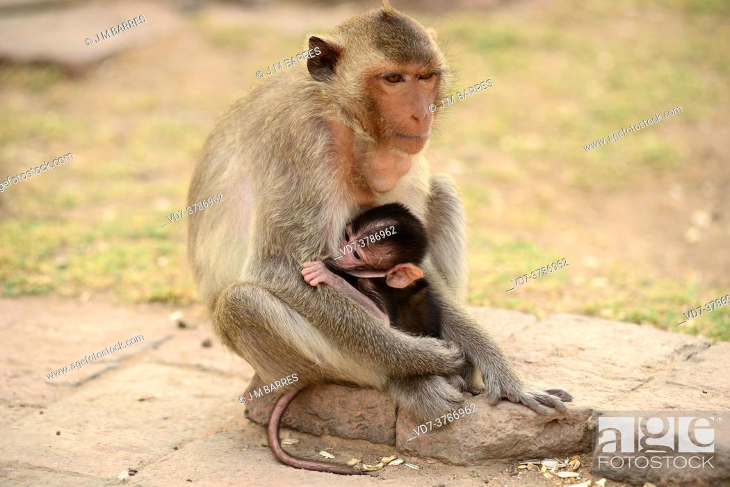 Imagen: Lopburi city, crab-eating macaques on Phra Prang Sam Yot a Kmer temple. Mother and baby sucking. Thailand.