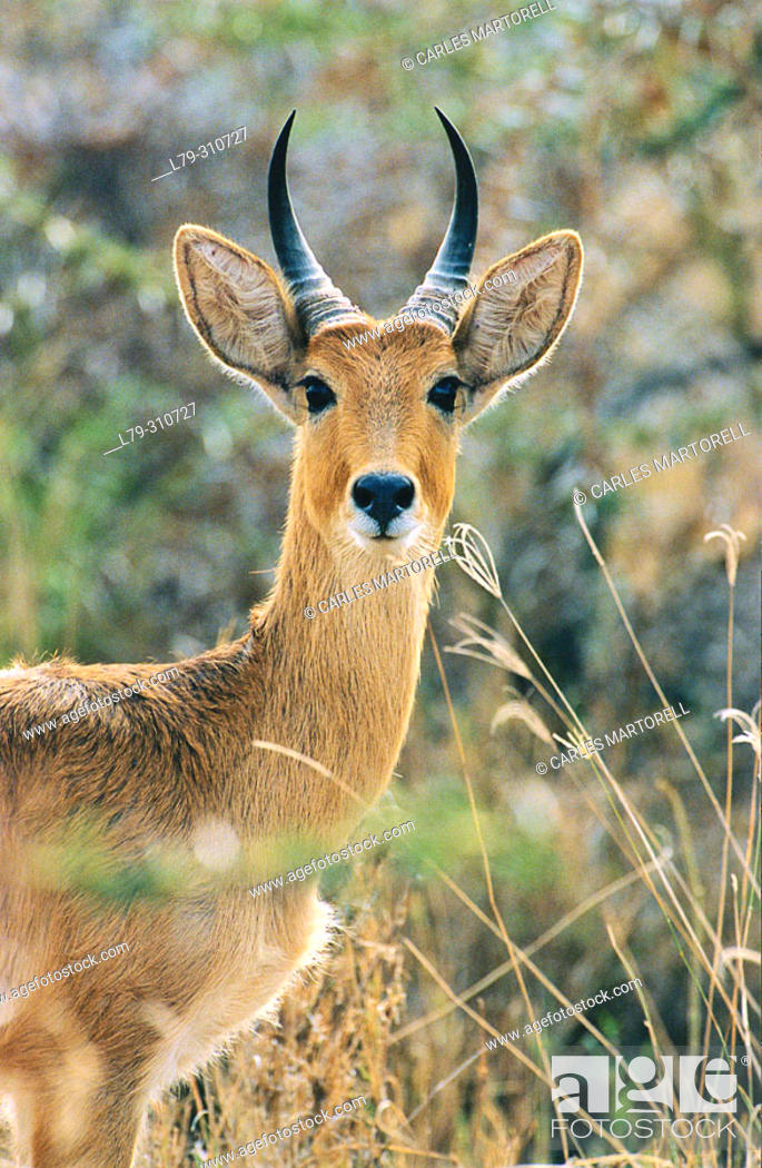 Stock Photo: Bohor Reedbuck (Redunca redunca). Lake Manyara National Park. Tanzania.