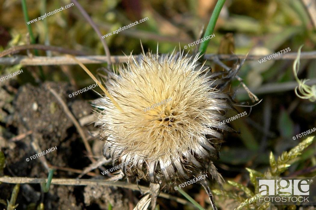 Stock Photo: wiesen, stich, spitzig, felder, berne, blooms, blumenrfarben.