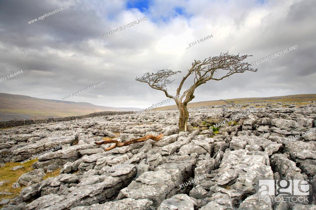 Stock Photo: Lone Tree on Twistleton Scar near Ingleton Yorkshire England.