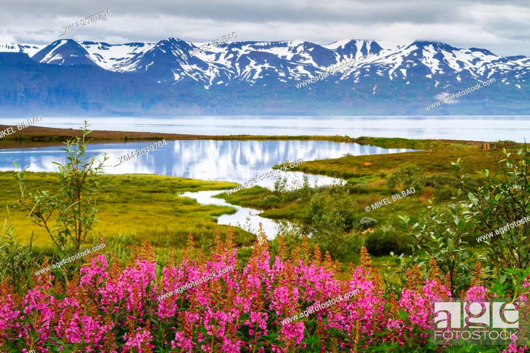 Stock Photo: Dwarf Fireweed (Epilobium latifolium or Chamerion latifolium) in Skjalfandi bay. Husavik. Iceland, Europe.