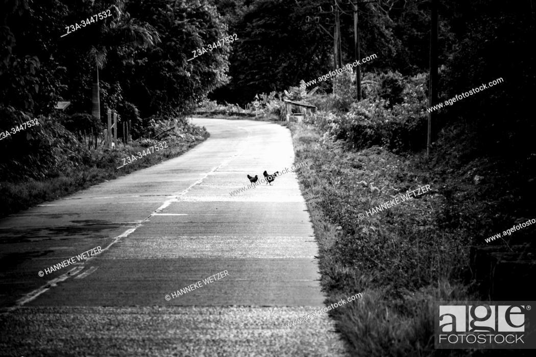 Stock Photo: Chicken crossing the street in Topes de Collantes, Trinidad, Republic of Cuba, Caribbean, Central America.