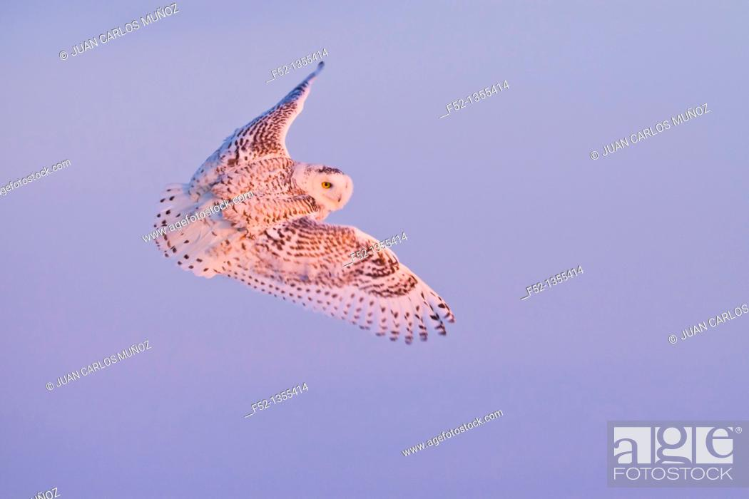 Photo de stock: Snowy Owl (Nyctea scandiaca).