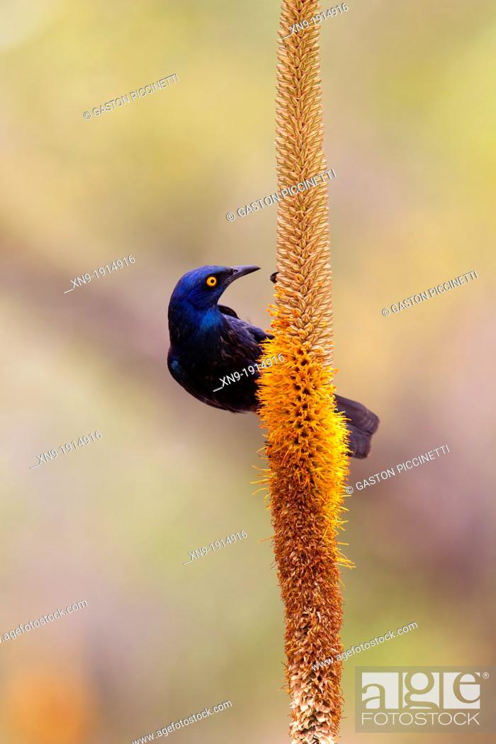 Stock Photo: Cape Glossy Starling Lamprotornis nitens, on the Skirt Aloe Aloe alooides,Kruger National Park, South Africa.