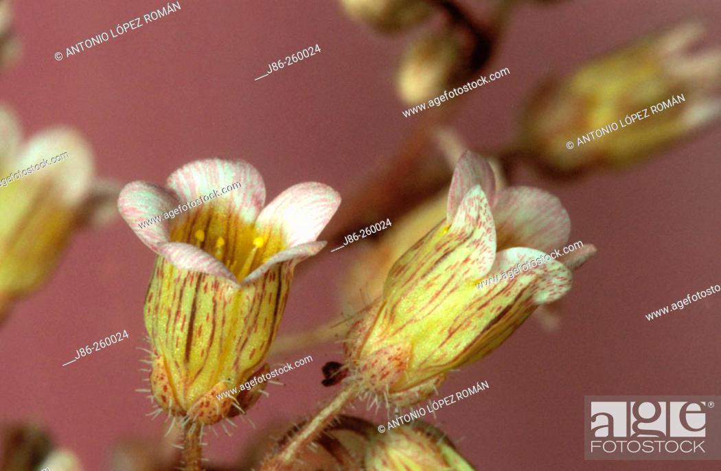 Stock Photo: Sedum mucizonia.