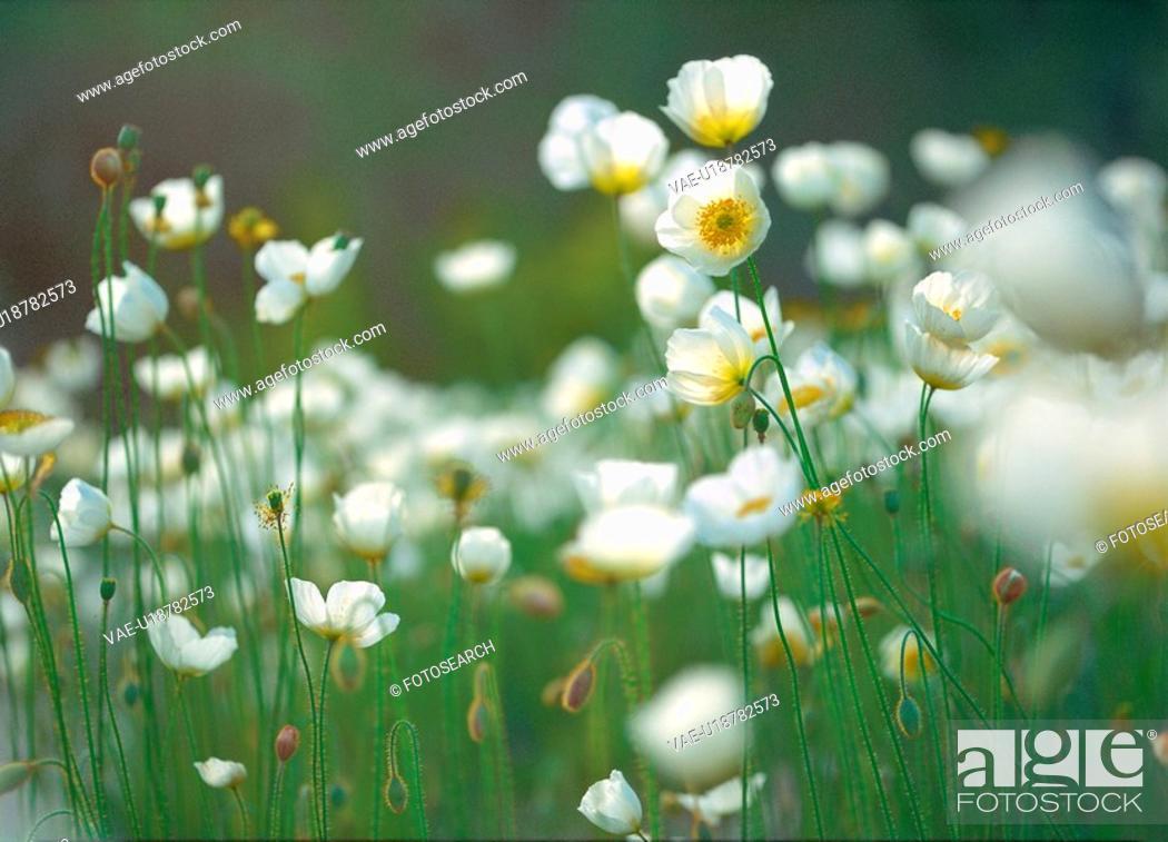Stock Photo: plants, nature, poppy, flower, plant, film.