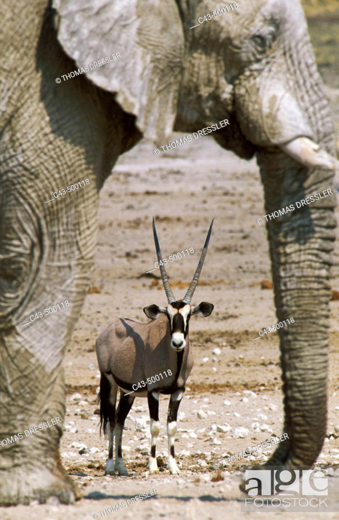 Stock Photo: Gemsbok (Oryx gazella) and African Elephant (Loxodonta africana); while the elephant bull occupies the waterhole, the gemsbok has to wait in the vicinity for.
