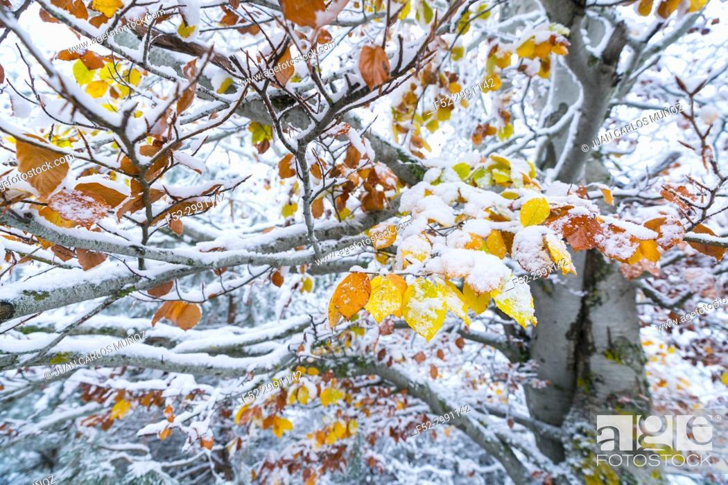 Stock Photo: Beech (Fagus sylvatica), Snowy forest in autumn, Sierra Cebollera Natural Park, La Rioja, Spain, Europe.