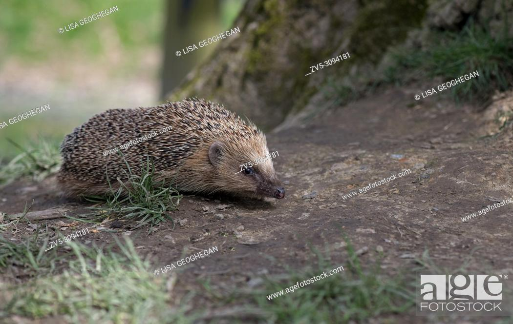 Imagen: Hedgehog-Erinaceus europaeus. Uk.
