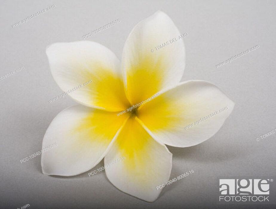 Stock Photo: Studio shot of yellow plumeria on white background.