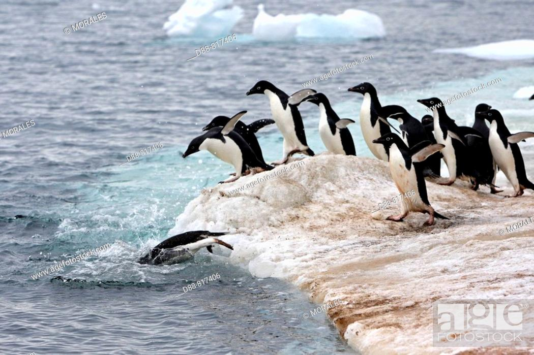 Stock Photo: Adelie Penguin (Pygoscelis adeliae), Antarctica.