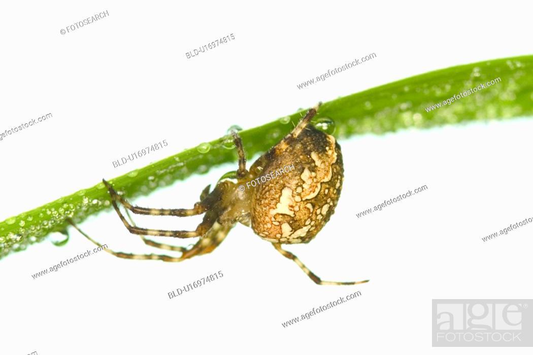 Stock Photo: arachnid, brown, araneus, araneae, alfred.