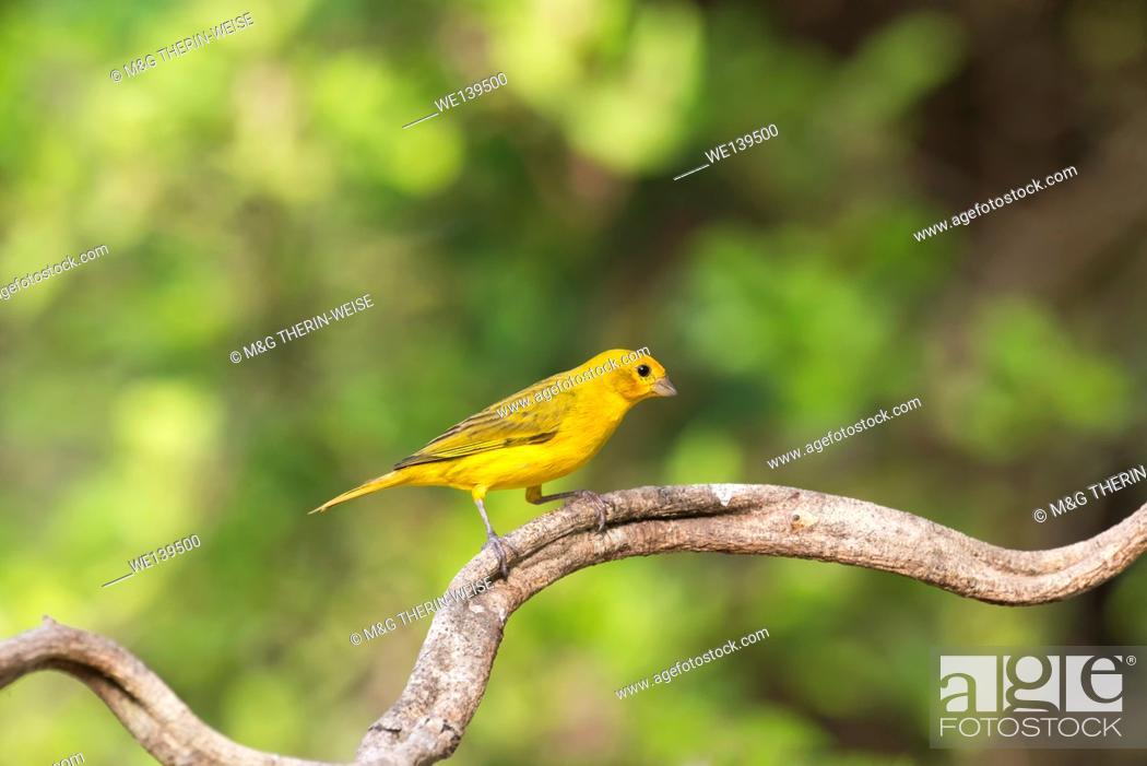 Photo de stock: Saffron Finch (Sicalis flaveola) on a branch, Pantanal, Mato Grosso, Brazil.